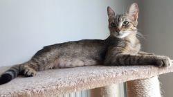 Roxane, Chat à adopter