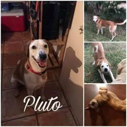 Pluto, Chien à adopter