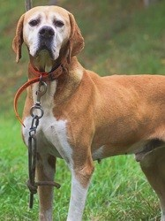 Lussio, Chien pointer anglais à adopter