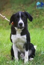 Oscar, Chien border collie, labrador retriever à adopter