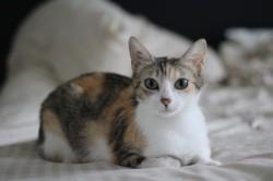 Picota, Chat européen à adopter