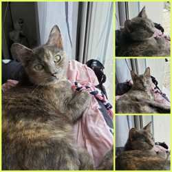 Clairette, Chat à adopter