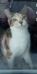 Olya, Chat européen à adopter