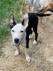 Pongo, tout jeune chien mâle croisé créole, Chiot à adopter