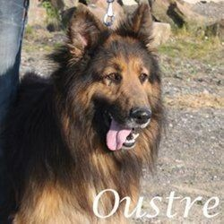 Oustrema dit ouss, Chien berger allemand, colley à poil long à adopter