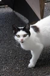 Savana femelle blanche/ronds noirs de 1 an, Chat à adopter