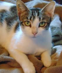 Rosaline femelle tigrée de 1 an 1/2, Chat à adopter