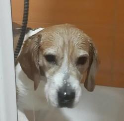 Goofy, Chien beagle à adopter