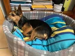 Gwada, Chien jack russell terrier, pinscher à adopter