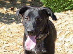 Rosko, Chiot labrador retriever à adopter