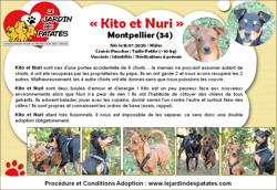 Nuri, Chiot chihuahua, pinscher à adopter