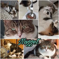 Nugget, Chat à adopter