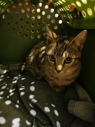 Lovegood, Chat à adopter