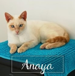 Anaya, Chat européen à adopter