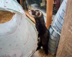 Piccalilli, Animal à adopter