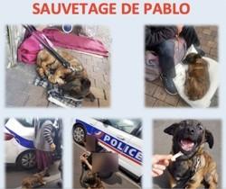 Pablo, Animal berger hollandais à adopter