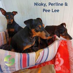 Nioky perline et pee lee, Chien pinscher à adopter