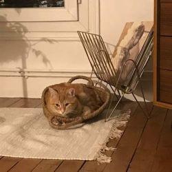Rouky, Chat européen à adopter