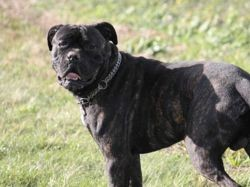 Oxford, Chien cane corso à adopter