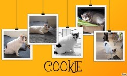 Cookie, Chat à adopter