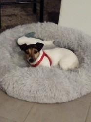 Jadore, Chien jack russell terrier à adopter