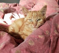 Garfilou chaton tigre roux 11 mois, Chat à adopter
