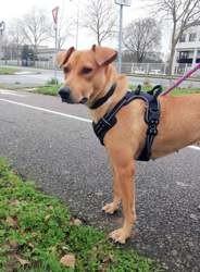 Lola, jeune chienne croisée créole., Chien à adopter