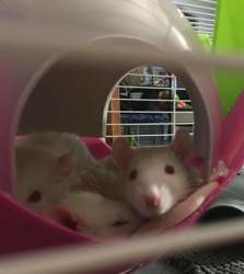 Les ratounettes, Animal à adopter