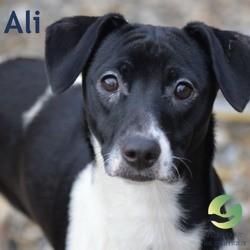 Ali, Chiot à adopter