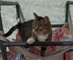 Rubi, Chat européen à adopter