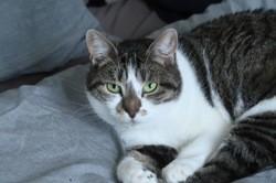 Azalee femelle tigré/blanc de 3 ans 1/2, Chat à adopter