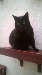 Noiraud, Chat à adopter