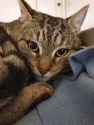 ‼️ sos ‼️ malabar, Chat européen à adopter