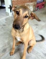 Ridzo, chien mâle junior, croisé créole, Chiot à adopter