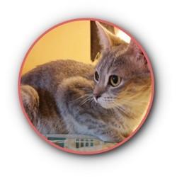 Liah, Chat européen à adopter