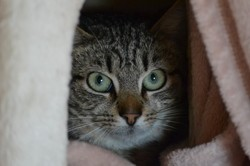 Blue, Chat européen à adopter