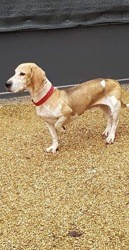 Snoopy, Chien basset hound, beagle à adopter