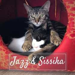 Jazz & sissika, Chat européen à adopter