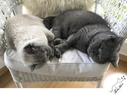 Léonard & marie, Chat british shorthair à adopter