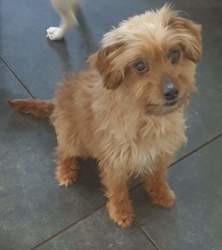Pupuce, Chien bichon havanais, yorkshire terrier à adopter