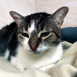 Nina, Chat européen à adopter