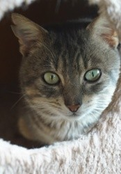Nils, Chat européen à adopter