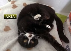 Akia, Chat à adopter