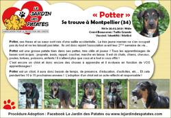 Potter, Chiot beauceron à adopter