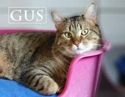 Gus gros calinou, Chat à adopter