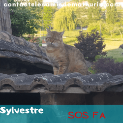 Sylvestre, Chat à adopter