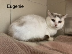 Eugenie, Chat à adopter