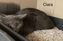 Ciara, Chat à adopter