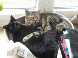 Kenji & minouche, Chat européen à adopter