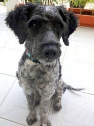 Sam, jeune chien mâle croisé créole, Chien à adopter
